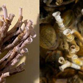 Australisk Kalkrörsmask – invasiv art